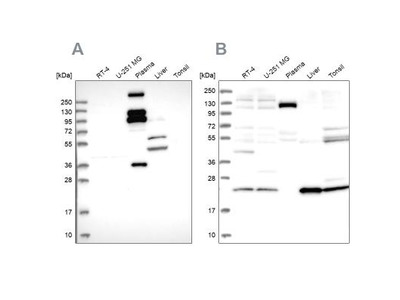 REXO1 Antibody