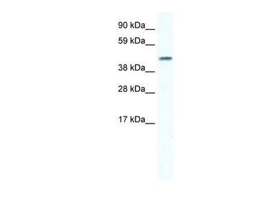 Connexin 40 /GJA5 Antibody