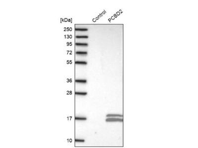 PCBD2 Antibody