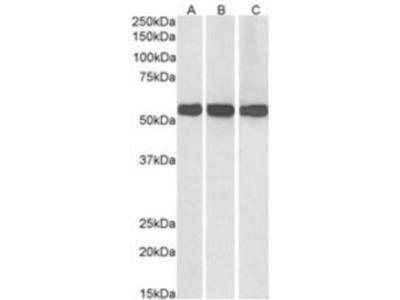 Glutamate Dehydrogenase Antibody