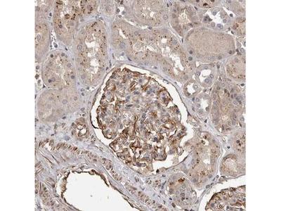 BAAT1 Antibody