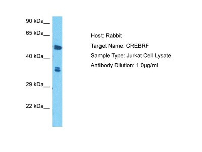 Rabbit Polyclonal CREB3 regulatory factor Antibody