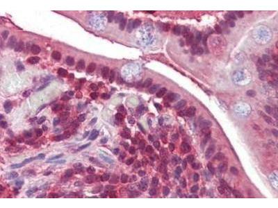 Goat Polyclonal PP4 / PPP4C Antibody