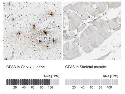 CPA3 Antibody