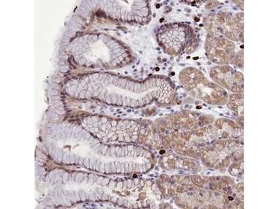 POM121L2 Antibody