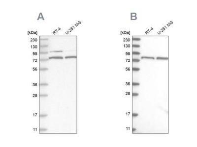 P2X7 / P2RX7 Antibody