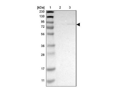 ZMAT1 Antibody