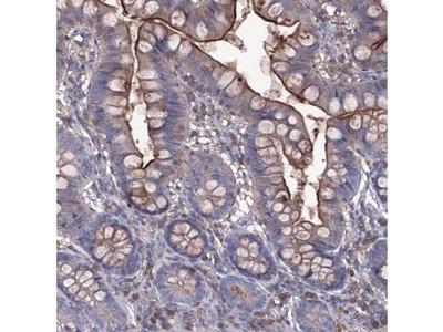 EphA8 Antibody