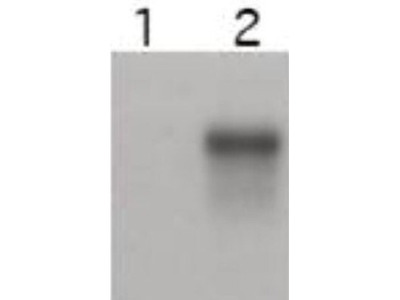Cyclin E2 Antibody