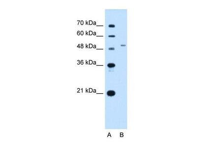 ENT2 Antibody