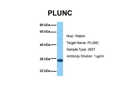 PLUNC Antibody