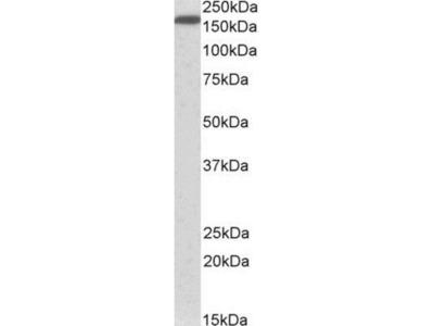 Goat Polyclonal Neurofascin Antibody