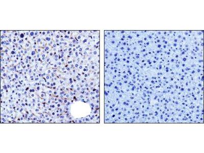 PADI4 Antibody