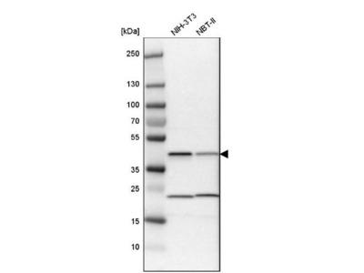 QKI / Quaking Antibody