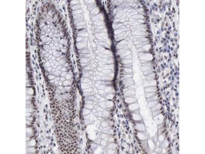 Anti-TAF1 Antibody