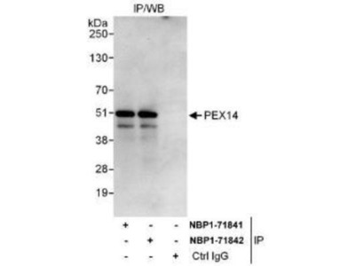 PEX14 Antibody