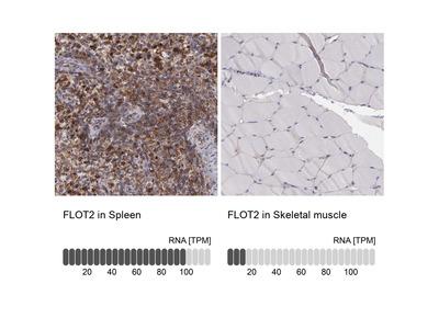Anti-FLOT2 Antibody