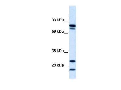 ZNF606 Antibody