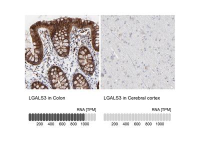 Anti-LGALS3 Antibody