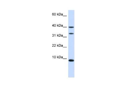 ACBP Antibody
