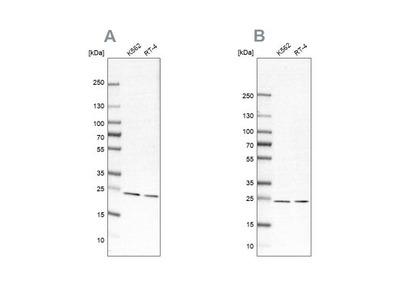Proteasome beta 1 Antibody