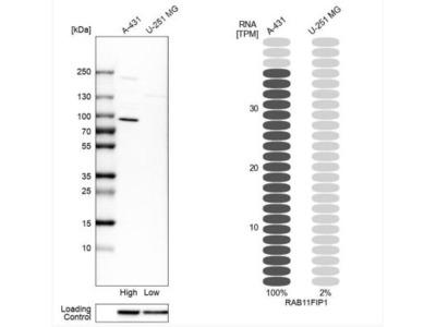 FIP1 / RCP Antibody