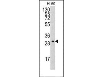 Cyclin C antibody