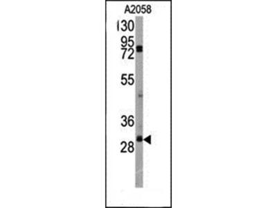 SLUG antibody