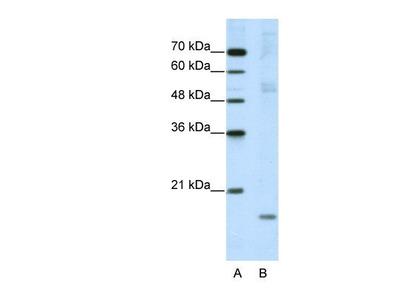 NIP7 Antibody