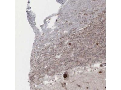 GPRASP1 Antibody