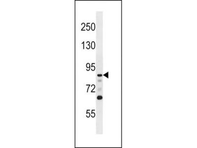 DCAMKL1 antibody