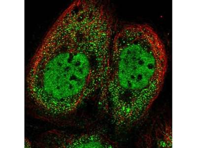 ZUFSP Antibody