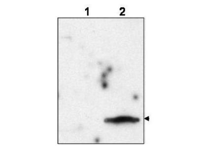 Gag polyprotein Antibody