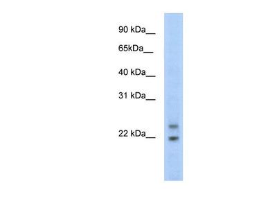 Cphx Antibody