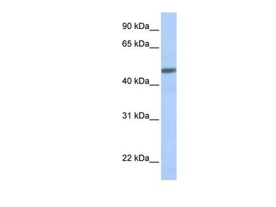 CRLR Antibody