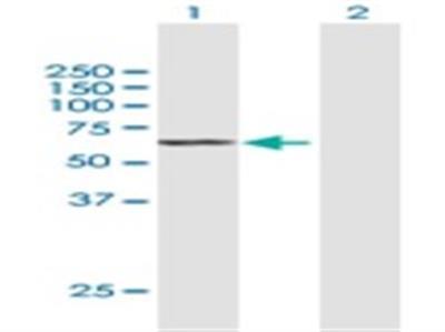SGPL1 Antibody