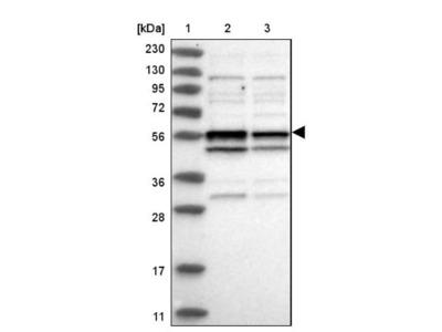 CCDC76 Antibody