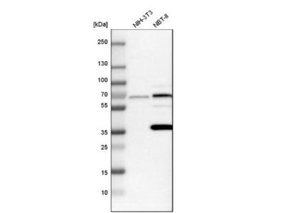 PICALM Antibody