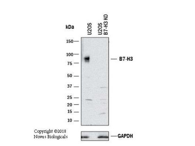 B7-H3 / CD276 Antibody