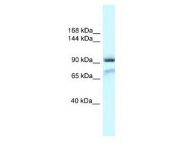 GluR1 Antibody