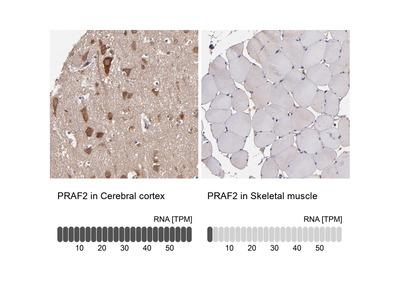 Anti-PRAF2 Antibody