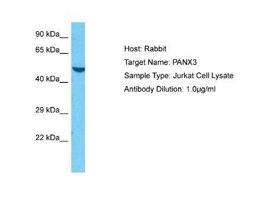 Rabbit Polyclonal Pannexin-3 Antibody