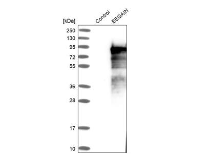 Anti-BEGAIN Antibody