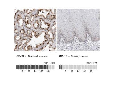 CIART Antibody