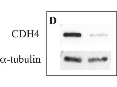 Cadherin-4 / R-Cadherin Antibody