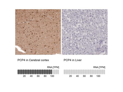 PCP4 Antibody