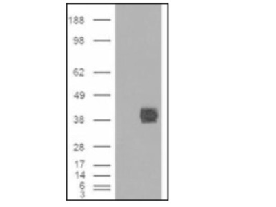 Goat Polyclonal FcgRIIB / CD32b Antibody
