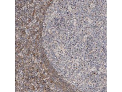 NSMAF Antibody