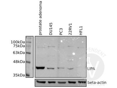 Lipase A Antibody
