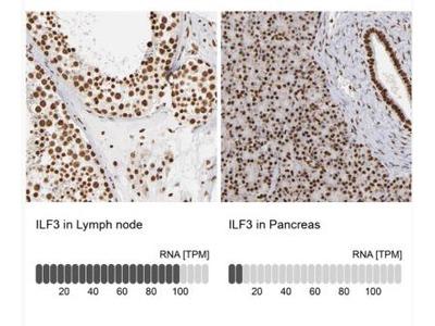 ILF3 Antibody